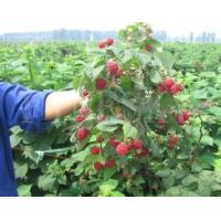 Quality Raspberry extract powder natural health care product for sale