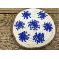Quality Raw Material Small Dried Blue Flowers / Lace Flowers For Glass Decoration for sale