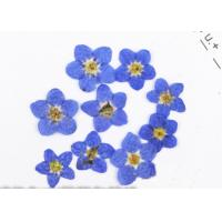 Quality Natural Plants Mini Dried Flowers , Blue Pressed Flowers For DIY Cell Phone Case for sale