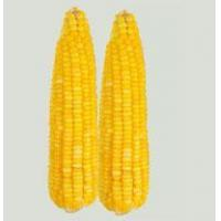 Quality Frozen sweet corn for sale