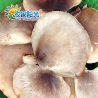 Quality NEX010-Abalone mushroom for sale