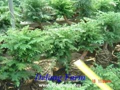 Buy Araucaria at wholesale prices
