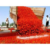 Tomato paste in drum packing Tomato paste in drum packing Tomatopasteindrumpacking