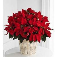 Large Red Poinsettia Basket - B13-3602
