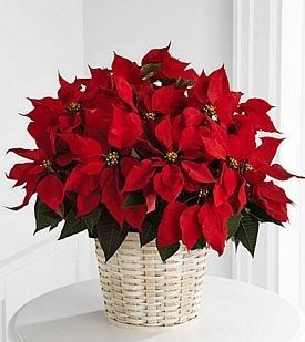 Buy Large Red Poinsettia Basket - B13-3602 at wholesale prices