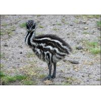 Quality Emu Grower Feed for sale