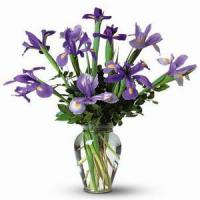 Quality Iris Iris NO.73 shenzhen flower delivery for sale