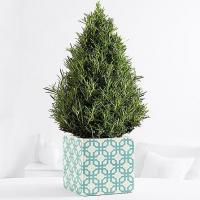 Buy cheap Centerpieces & Plants Culinary Rosemary Tree from wholesalers