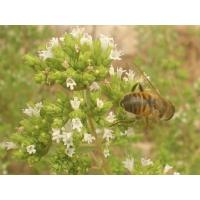 Buy cheap Oregano Oil Wild Essential Oils from wholesalers