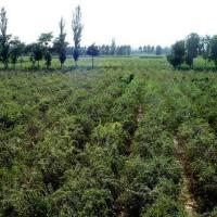 Buy cheap Conventional Lycium Barbarum from wholesalers