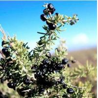 Buy cheap Black Goji Berry from wholesalers