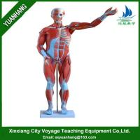 Quality human muscle model 80cm (27 parts) for sale